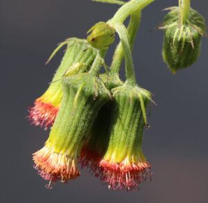 close up of flower heads with salmon-red color